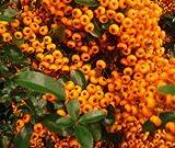 PYRACANTHA 'SAPHYR ORANGE' 3 LITRE PLANT