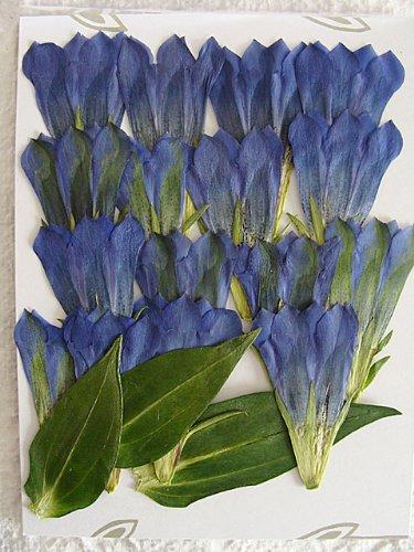 押し花素材(押し花パック)りんどう(青)花15枚・葉3枚【飛騨の山野草押し花素材】