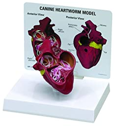 Canine Heart with Heartworm Parasite Anatomical Model