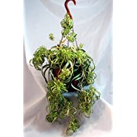 Bonnie Curly Spider Plant - Easy - Cleans the Air