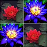 (Combo Of 2 Colors) Floral Treasure RED & BLUE Lotus Seeds - Pack Of 10