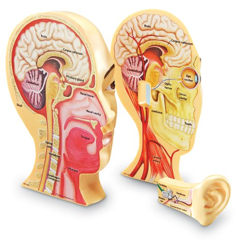 Learning Resources Cross Section Human Head Model (Brain Model compare prices)