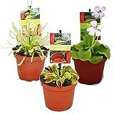 Lawn & Patio - Zimmerpflanzen-Mix II 3er Set, 1x Diefenbachia, 1x Chamaedorea 1x Dracena marginata, 10-12cm Topf.