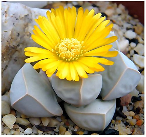 5 Packs X 20 Karoo Rose Lapidaria Margaretae - Rare Mesembs Living Rock Stome Cactus Cacti Succulent Seeds - By Myseeds.Co