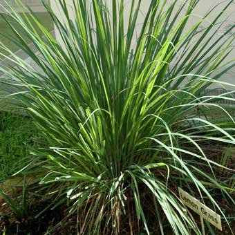 Magic Seeds 200 Organic Lemongrass Seed Cymbopogon Flexuosus