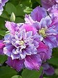 Amazon / Hirt's Gardens: Piilu Clematis Vine - Heaviest Blooming Clematis - 2.5 Pot