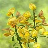 Cytisus Apricot Gem - 1 shrub