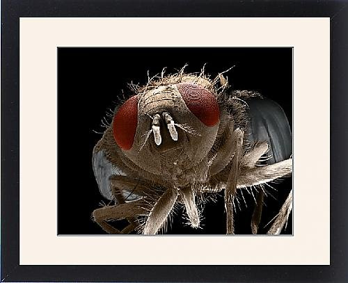 Framed Print Of Lrds-72 House Fly From Ardea Wildlife Pets