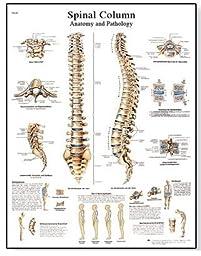 Anatomical Innovations 1161 Spinal Column Chart