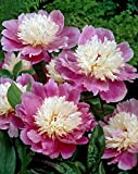 Bloomsz Bowl of Beauty Peony Roots (5 pack)