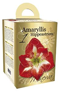 Amaryllis Gift Box Set Striped Flowering Amaryllis includes Pot/ Saucer/ Potting Compost