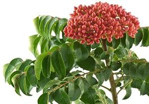 Murraya koenigii Curry Tree 5 fresh seeds