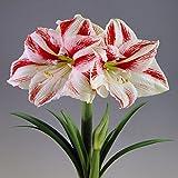 Hippeastrum Amaryllis Clown - 1 bulbe de fleur