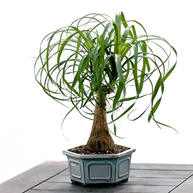 Succulent Plants - Ponytail Palm