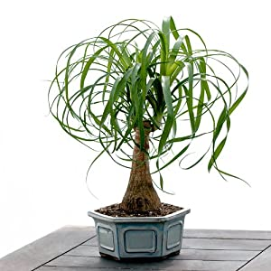 Ponytail Bonsai - Live Plant - Green Gift - Cut Flower Alternative - Low Maintenance Plant - Ships fast via 2-Day Air