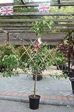 Fruit Tree-Fan Trained Cherry Tree Variety Prunus Avium Stella 1.7m tall