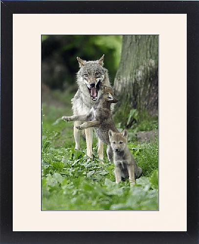 Framed Print Of European Grey Wolf - Cub Begging For Food From Female front-1061388