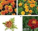 キンセンカ種子マリーゴールド、鉢植えの花の種、約100個の粒子盆栽種子