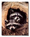 Baby Raccoon Tree Hole Country Animal Wildlife Wall Picture 16x20 Art Print