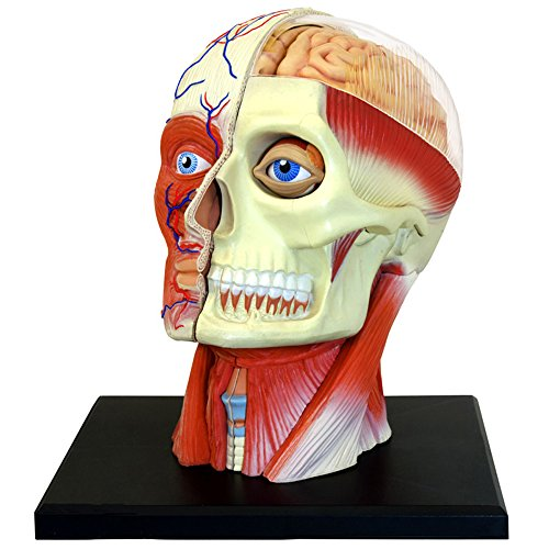 4D Vision Human Head Anatomy Model (Medical Models compare prices)