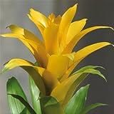 Bromelia Guzmania Yellow - 1 plant