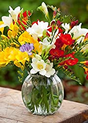 Freesia Winter flower bulbs Red, Yellow, White, Pink color 20 bulbs pack by Super Agri Green