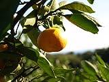 【6か月枯れ保証】【秋に収穫する果樹】ミカン/無核紀州(種無小ミカン) 15cmポット