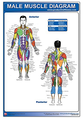 Male Muscle Diagram (Positioning Yoga compare prices)