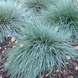Outsidepride Blue Fescue – 5000 Seeds