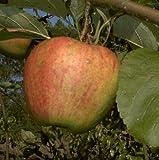 Apfelbaum Finkenwerder Herbstprinz Halbstamm