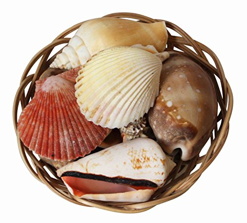 assorted-tropical-shells-in-a-decorative-wicker-basket-4-10cm