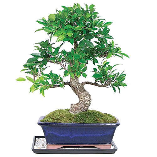 Dallas Bonsai Gardenu0027s Golden Gate Ficus (Indoor) ZGGF2