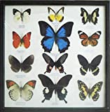 REAL 12 MIX BEAUTIFUL BUTTERFLY IN FRAME DISPLAY INSECT TAXIDERMY