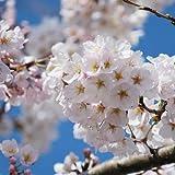 【桜 苗木】染井吉野 (ソメイヨシノ) 12cmポット苗
