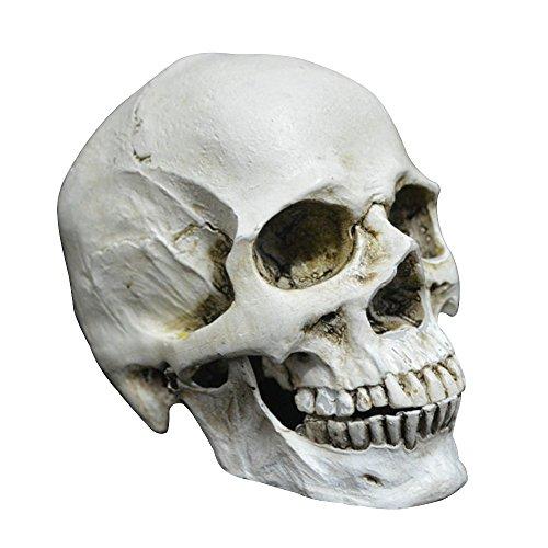 fengus Life Size Realistic Replica Human Skull Head Halloween Party Home Desk Decoration Props Ornament Model