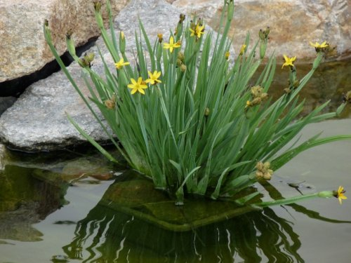 Hardy Perennial / Marginal Pond Plant - Sisyrinchium Californicum x 30 - 2013 Fresh Seeds