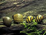 6 Nerite Snails COMBO PACK (Neritina natalensis) - 3 Tiger Nerite Snails, 3 Zebra Nerite Snails - Live Snails by Aquatic Arts