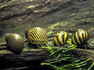 Amazon.com : 5 Zebra Nerite Snails (Algae eaters - safe for fish ...