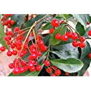 Coralberry Plant - Ardisia crenata - Excellent, Easy to Grow House Plant -4