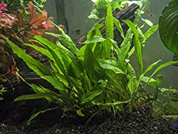 Java Fern - Huge 3 by 5 inch Mat with 30 to 50 Leaves - Live Aquarium Plant by Aquatic Arts