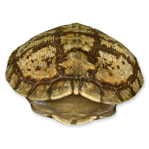 Awardpedia Pond Turtle Shell More Than 7 Inches
