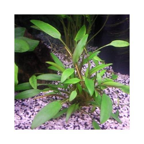Amazon.com: Cryptocoryne Nevillii - Live Aquarium Plant