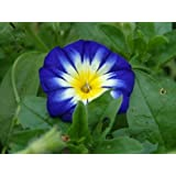 Treasuresbylee - Trilcolor Dwarf Morning Glory - 25 Heirloom Flower Seeds