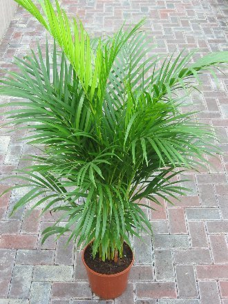 indoor-plant-house-or-office-plant-chrysalidocarpus-lutescens-areca-palm-butterfly-palm-1m