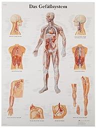 3B Scientific VR0353UU Glossy Paper Das Gefaßsystem Anatomical  (The Vascular System Anatomical Chart, German ), Poster Size 20\