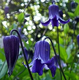 'Blue Ribbon' Clematis Vine - Fragrant - 4