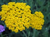 Staudenkulturen Wauschkuhn Achillea filipendulina Coronation Gold - Schafgarbe - Staude im 9cm Topf