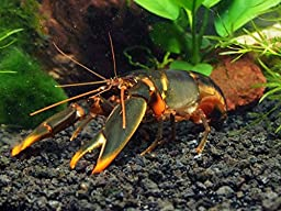 1 Live Emerald Fire Crayfish/Freshwater Lobster (3-4 inch Young Adult) - Stunning Cherax Crayfish by Aquatic Arts