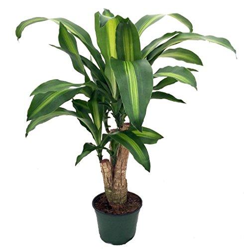 Stylized Creme & Green Corn Plant - Dracaena - 6