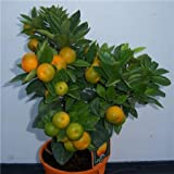 Cross Common Nursery Citrus Orange 'Calamondin' Bush
